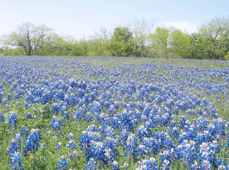 Bluebonnetflowers